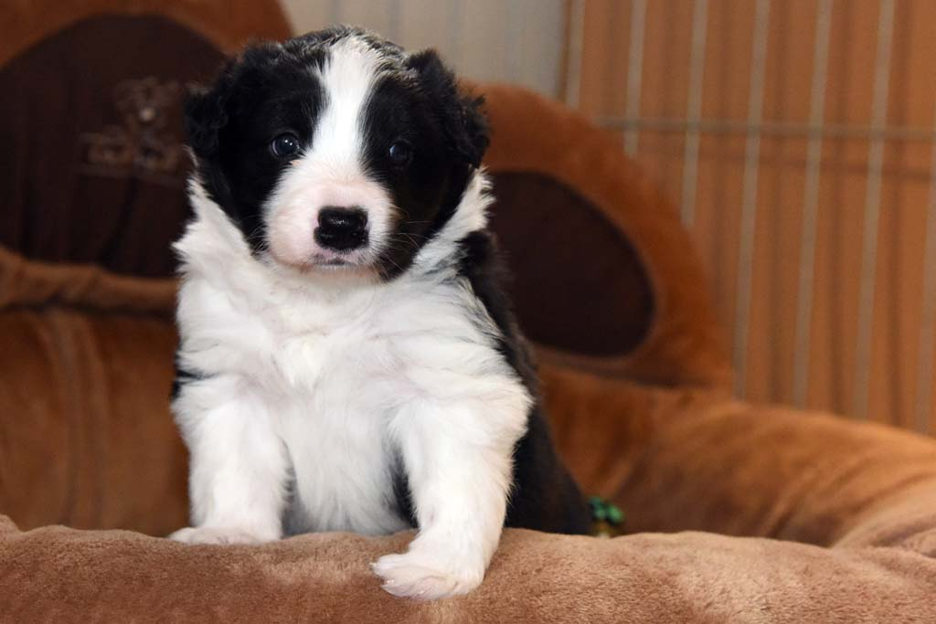 2015 11 28 Juste the one and only von den Traumpfoten DSC 3394